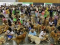 Largest Gathering Of Golden Retrievers