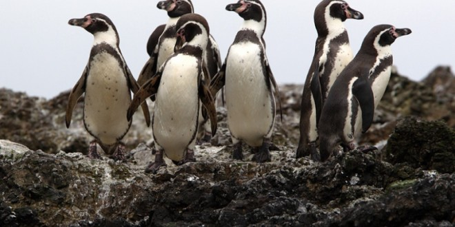 World's Largest Colony Of Humboldt Penguins