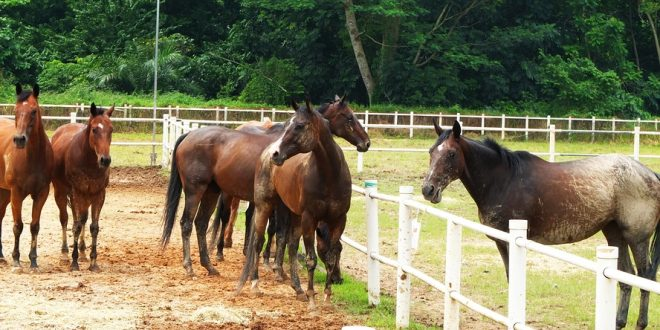Largest Gathering Of Free Roaming Horses
